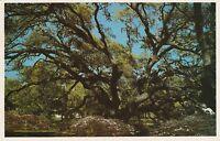 LAM(W) Jekyll Island, GA - Plantation Oak