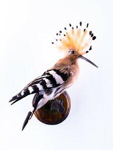 Taxidermy Hoopoe Bird Real stuffed mount Upupa epops