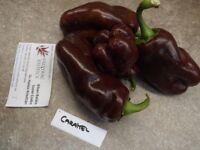 Karamell Süße Paprika - 10+ Samen - Saatgut - Schokoladenfarbe und KNACKIG!