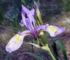 ROCKY MOUNTAIN SCHWERTLILIE 10 Samen Iris Missouriensis