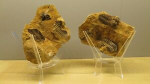 Crystal & Fossil Art - DOUBLE Genuine Trilobite Fossil & Large Eco Stand