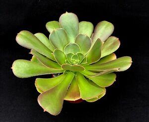 Aeonium 'Blushing Beauty' | Hybrid | Surreal Succulents