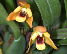 Botanica Ltd. Maxillaria variabilis - yellow *Fragrant* Species Orchid Plant