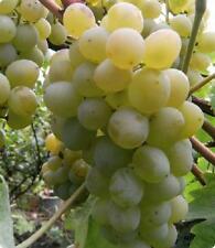Muscat grape 40 grape seeds from Moldova