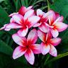 Mix Color Frangipani Plumeria Rubra Flowers Bonsai Plants Garden N 20 PCS Seeds
