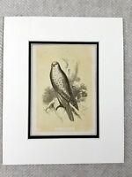 1853 Antico Uccello Stampa Gyrfalcon Islandese Jer Falcon Originale Vittoriano