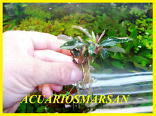 Plante d' aquarium,gambario,paludario.porcion ,Bucephalandra Théia Rouge