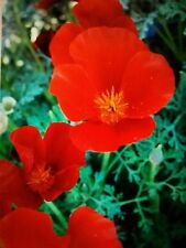 """""""Red Chief"""" California Poppy 250 Fresh Seeds, Hardy, Zone 1🔥 CabinFeverTraders"""