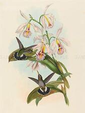John Gould Hc Richter británico Fraser Espino Garganta Zoología Art Print bb5899a