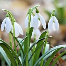 ⭐️SINGLE SNOWDROP BULBS ⭐️ 'Galanthus Nivalis' Top Flowering