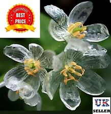 "Skeleton Flower, perennial - 100 SEEDS - UK SELLER - ""BUY 2 GET 1 FREE"""
