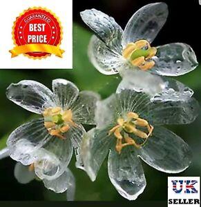 Rare Skeleton Flower, perennial - 200 SEEDS - UK SELLER
