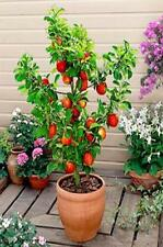 *ALL 3 fruit TREES,Plum tree,Apple tree & Pear~stay small if potted-heavy crops!