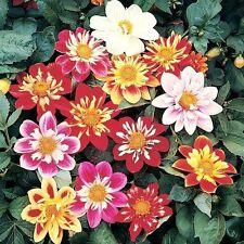 FLOWER DAHLIA DWARF DANDY 3 GRAM ~ APPROX 375 SEEDS