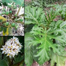 100 Semi Solanum Chrysotrichum Albero delle melanzane Giant devil's fig seeds