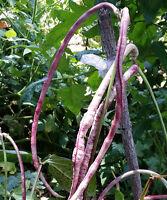 Snake Bean Red White - Most Rare Yardlong Bean, Borboti, Bora, Chinese Long Bean