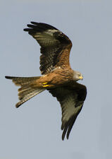 Red Kite Large A5 Greetings Card.Blank for your own message