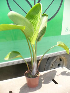 Strelitzia nicolai, weisse Paradiesvogelblume ca. 100cm, alba,  Baumstrelitzie
