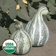 20 Organic Cushaw Green Striped Pumpkin Seeds - Everwilde Farms Mylar Packet