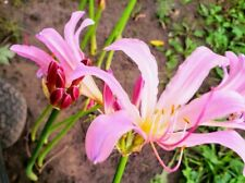 6+ Perennial Pink Naked Lady Surprise Resurrection Lily Bulbs Plant & Forget