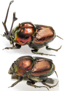 Proagoderus rangifer-Pair, GIANT HORNS, from Tanzania, UNMOUNTED
