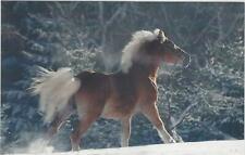 Horse Postcard - 1Haflinger Stallion - Barman