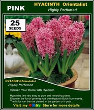 Flower Seeds # HYACINTH  Orientalis PINK*  25x SEEDS