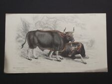 THE GAYAL or SILHET CATTLE - LIZAR'S 1830's HAND COLORED COPPER PLATE ENGRAVING