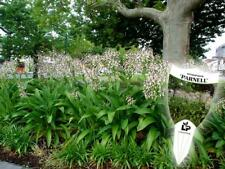 New Zealand Renga Lily cv Matapouri Bay Seed Drought/Frost/Sun/Shade Tolerant