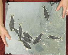 A Crazy NINE! 50 Million Year Old Knightia Fish Fossils in HUGE Matrix 6400gr e