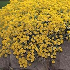 Alyssum Golden Tuft Hardy Perennial Super Beautiful Gold 100 Seeds Free Ship!