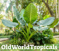 LIVE Colocasia 'Thailand Giant' Large Elephant Ear Exotic Tropical