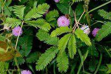 550 Graines Sensitive , Mimosa pudica , Sensitive Plant seeds