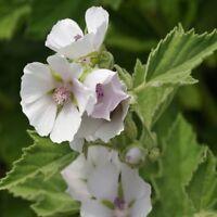 Marsh Mallow- (Althaea Officinalis)- 25 Seeds- BOGO 50% off SALE