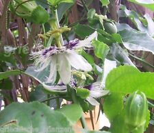Passiflora red Giant ******* essbare Früchte ** 5 Samen