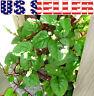 ORGANICALLY GROWN Asian Vegetable Herb Pepper Heirloom NON-GMO Daikon Basil USA