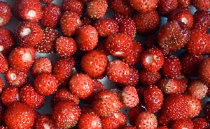 100 Samen Monatserdbeere Alexandria Erdbeere Fragaria vesca Erdbeeren