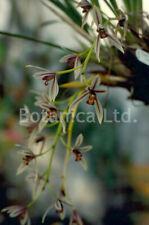Botanica Ltd. Cymbidium dayanum *In Spike Division* Species Orchid Plant