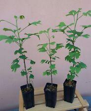 Ginkgo biloba, Ginco, pianta singola, 1 anno, prebonsai bonsai e giardino,per