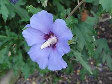 +30 Graines d'althéa bleu (hibiscus)