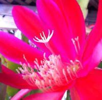 Epiphyllum Orchid Cactus  Masada