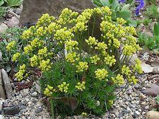 Draba sp. Seeds; aff. Draba aizoides