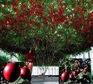 Tomatenbaum reich tragende Bäume frosthart immergrün schnellwüchsig Topfpflanze