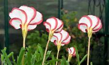 15 x Oxalis Versicolor bulbs. CANDY CANE SORREL