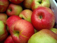 McIntosh Apple Tree x5 Seeds. Grow Your Own! USA Grown Organic! 🍎🌱🌳🇺🇸