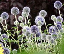 GLOBE THISTLE BLUE Echinops Ritro - 125 Bulk Seeds