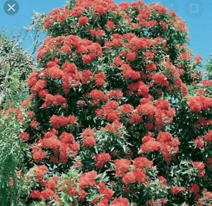 "Australian  Native Corymbia Ficifolia ""Red Flowering Gum"" 5 Seeds"