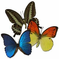 Echter Schmetterling im Bilderrahmen, Schaukasten, verschiedene Motive