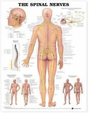3 The Spinal Nerves Anatomical  Diseases Of Urinary Tract Heart Conditions Chart