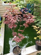 Sale: Skeeters Broom Japanese Maples perfect for Bonsai or garden 32 + Inch tall